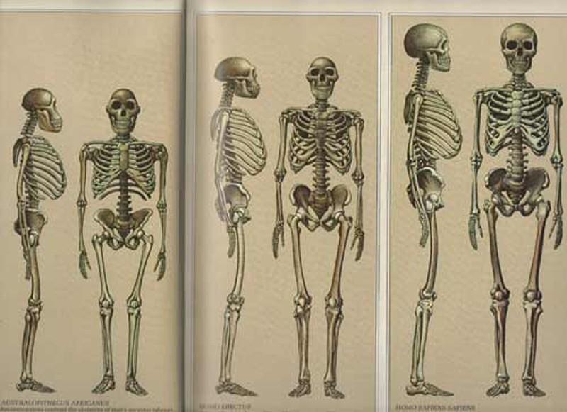 Boy uzunluğundaki artış da evrimsel süreçte et temelli diyete geçmemiz ile tam olarak üst üste çakışmaktadır.