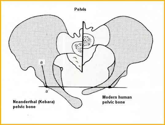 Pelvis farkının daha ayrıntılı bir görseli.