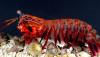 Dünyanın En Güçlü Yumruğu: Mantis Karidesi