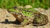Ova kurbağası (Pelophylax ridibundus )