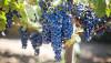 İnsanların Tarım Zararlıları ile Evrim Savaşı, Şarap Yapımında Kullanılan Üzümlere Zarar Veriyor!