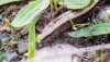 Yılanımsı kertenkele (Anguis colchica)