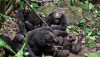 4 Yıl Savaşları: Gombe Şempanze Savaşı (1974-1978)
