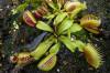 Sinekkapan (Venüs) Bitkisinin Evrimi