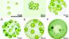 Deneysel Evrim: Laboratuvarda Tek Hücrelilikten Çok Hücreliliğin Evrimi ve Üreme Yöntemleri
