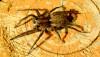 Titreşen örümcek (Anyphaena accentuata)