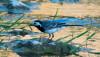 Ak kuyruksallayan (Motacilla alba)