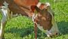 Otla Beslenen Hayvan Eti, Tahılla Beslenene Göre Daha Besleyici!