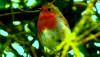 Kızılgerdan (Erithacus rubecula)
