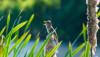 Büyük kamışçın (Acrocephalus arundinaceus)
