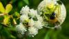 Üçgen yengeç örümceği (Ebrechtella tricuspidata)