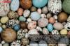 Kuş Yumurtalarında Renklerin Evrimi ve Görsel Ekoloji