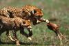 İşbirliği, Çatışma ve Karmaşık Hayvan Toplumlarının Evrimi