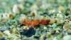 Marmara Denizi'nin Bilinen En Küçük Balığı: Lebetus Guilleti