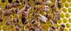 Korkak Mı Savaşçı Mı? Sosyal Kültür, Bal Arısı Larvalarını Şekillendiriyor!