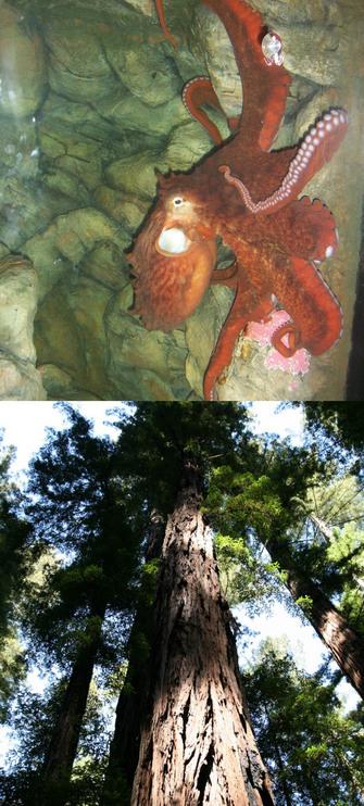 Şekil 1: Yaşam öykülerindeki çeşitlilik. Üstteki: Kuzey Pasifik Dev Ahtapotu dişisi (Enteroctopus dofleini).  Alttaki: Kıyısal Sekoya ağacı (Sequoia sempervirens)