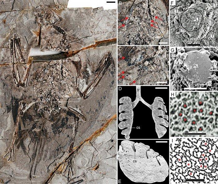 Keşfedilen fosil kaydındaki akciğer izleri.