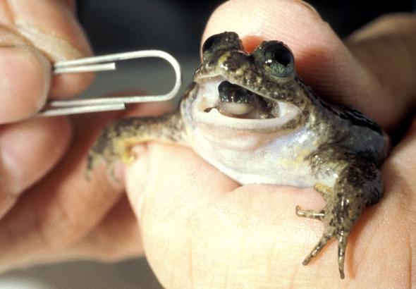 Midede yavrulayan kurbağa doğum yaparken.