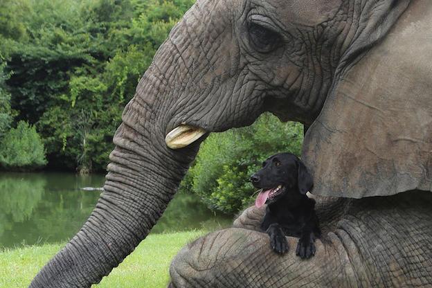 Fillerin birçok anatomik özelliği (iri kulaklar gibi), vücut ısısını düzenlemek için evrimleşmiş adaptasyonlardır.