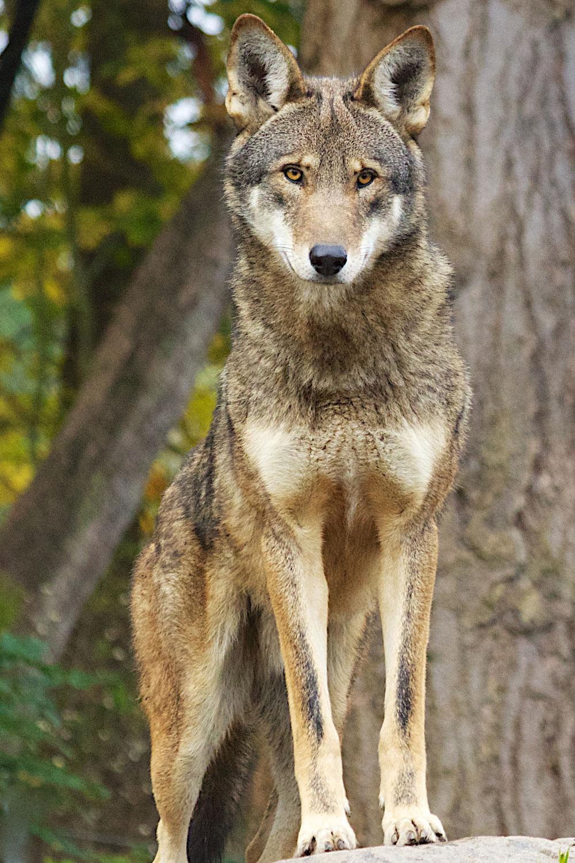 Görsel 6. Korumalı yetiştirme bölgesindeki bu örnek gibi, kızıl kurtlar yıllardır farklı bir tür olarak görülüyordu, fakat genom çalışmaları onların aslında gri kurtlarla çakalların melezi olduğunu göstermektedir.