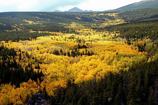 Görsel 3. Eylül renkleri Colorado'daki bu kontorta çamı ormanında çok sayıda titrek kavak klonu bulunur.