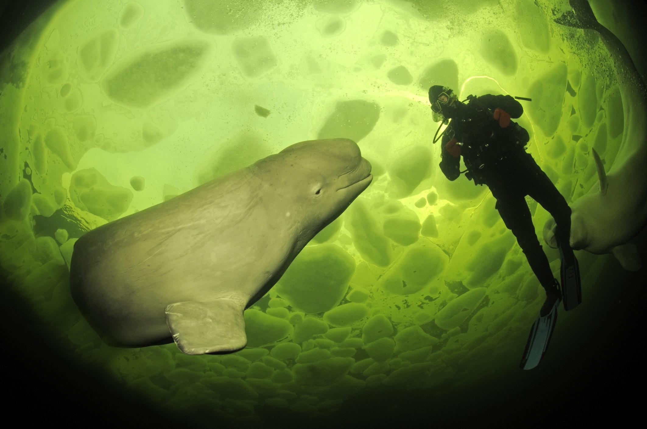Beluga balinası ve bir dalgıç.