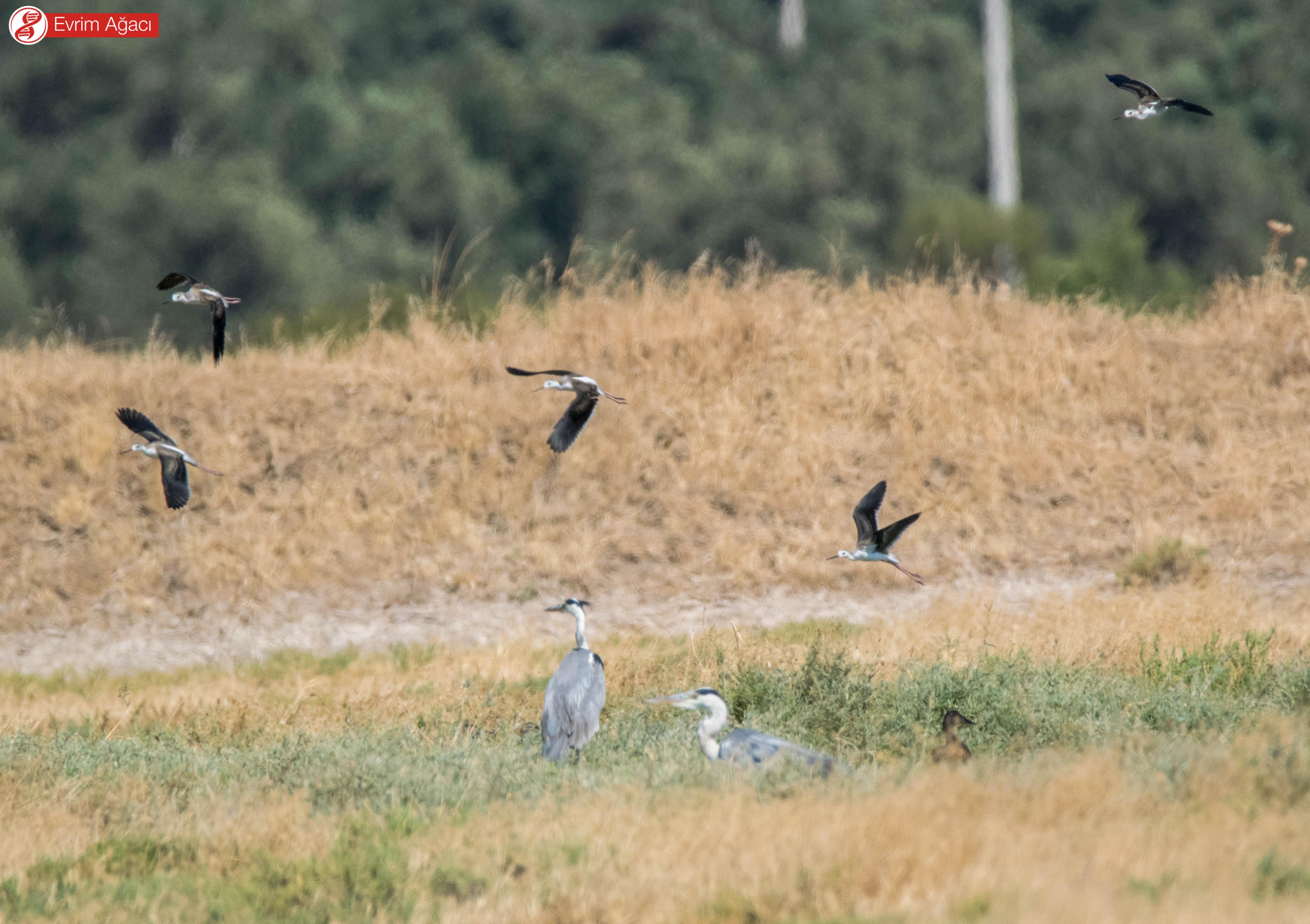 Havada uçuşan uzunbacaklar (Himantopus himantopus), yerde tüneyen gri balıkçıllar (Ardea cinerea) ve sağ tarafta kafası gözüken bir yeşilbaş ördek (Anas platyrhynchos).