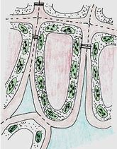 Rengi değişen yapraktaki 1. aşama: Kloroplastlar klorofillerini kaybetmeye başlar, karotenoidler hali hazırda vardır. Antosiyaninler oluşur ve vakuola taşınır.