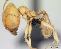 Görsel 2. Karınca (Pheidole pallidula)