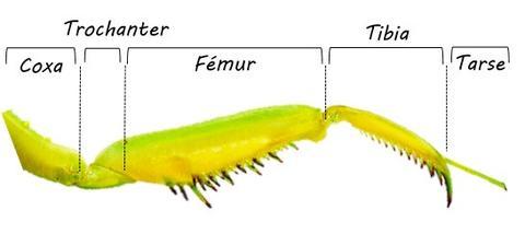 Mantis uzuv anatomisi