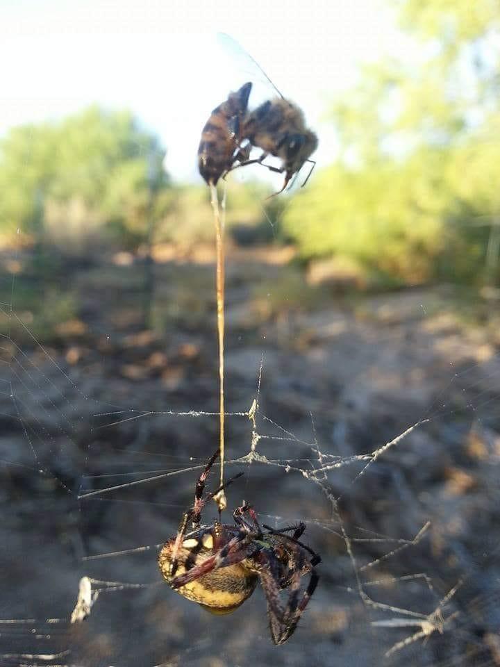 Bal arısı tarafından sokulan bir örümcek...