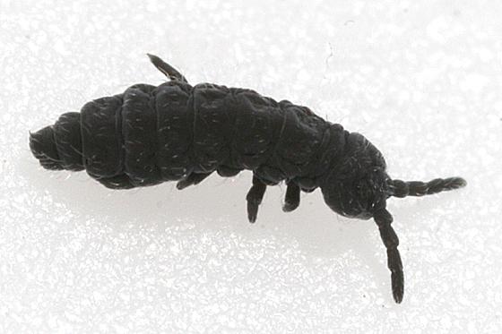 Bu aileden Hypogastrura harveyi türü.