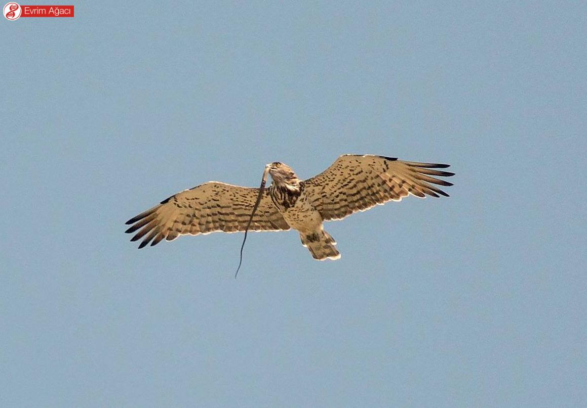 Avladığı bir yılan ile uçarken. Balkanlar/Karadağ'da gözlemledik.