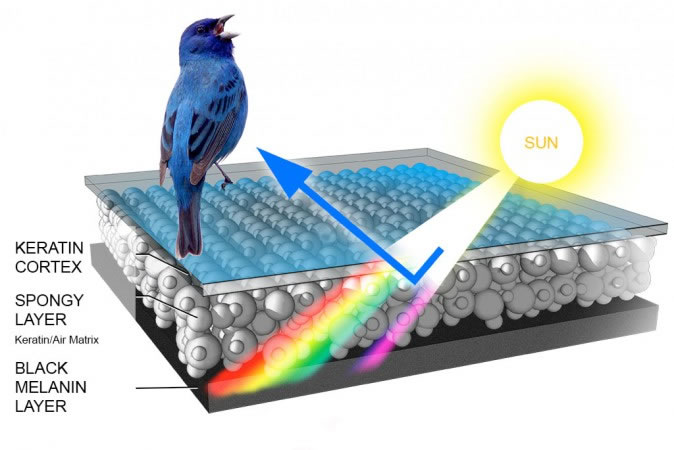 Mavi kuş tüyü, gelen ışığın tekrar yansımasıyla oluşur.