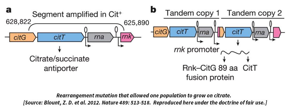 Yeniden düzenlenen mutasyon bir popülasyonun sitratta büyümesine izin verdi.
