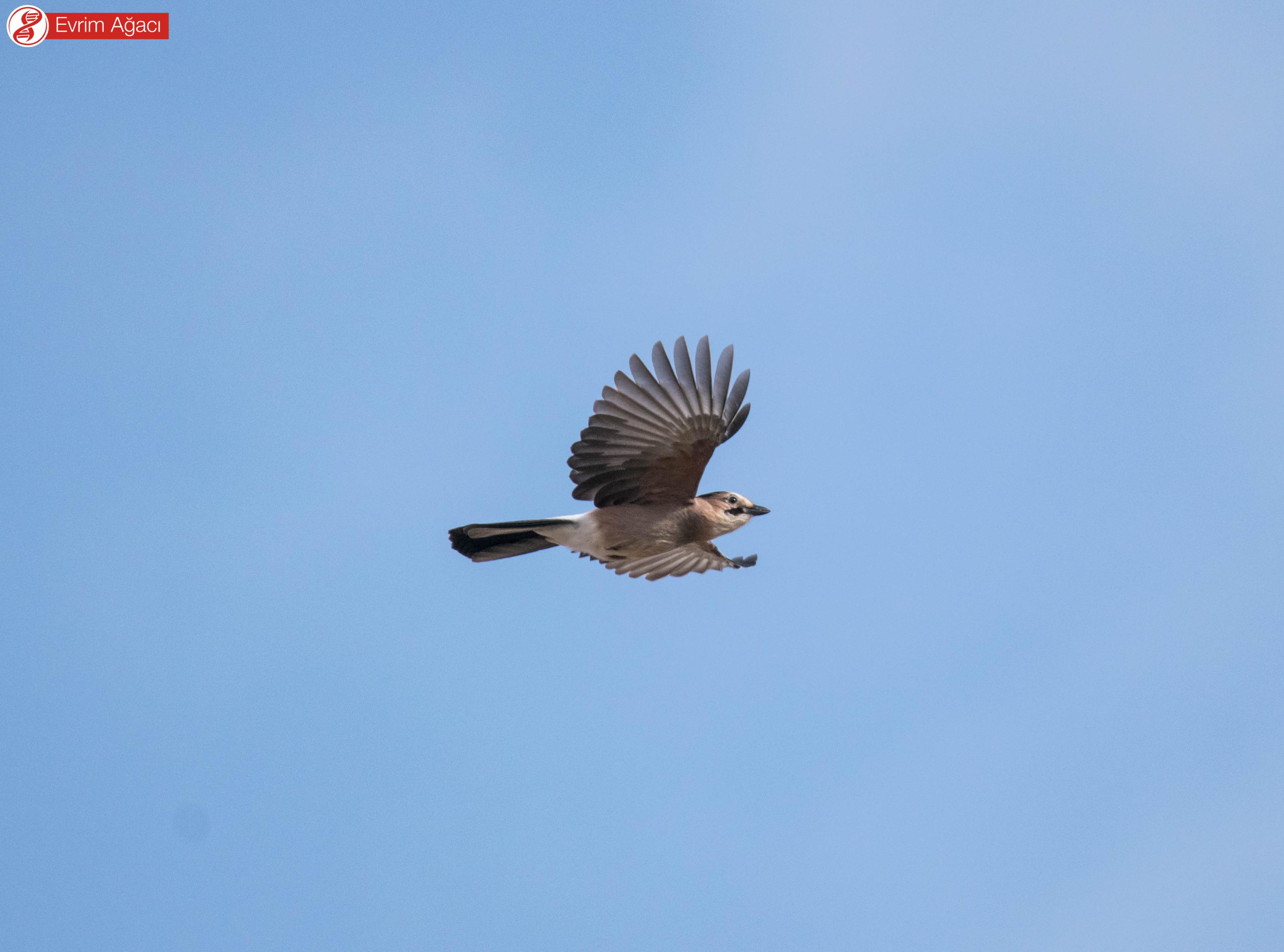 Uçarken ani bir şekilde kanatlarını vücutlarına tamamen yapıştırıp, uzaklaştırabilirler. Dolayısıyla ibibik gibi kesikli uçuş tarzları ile tanınabilirler.