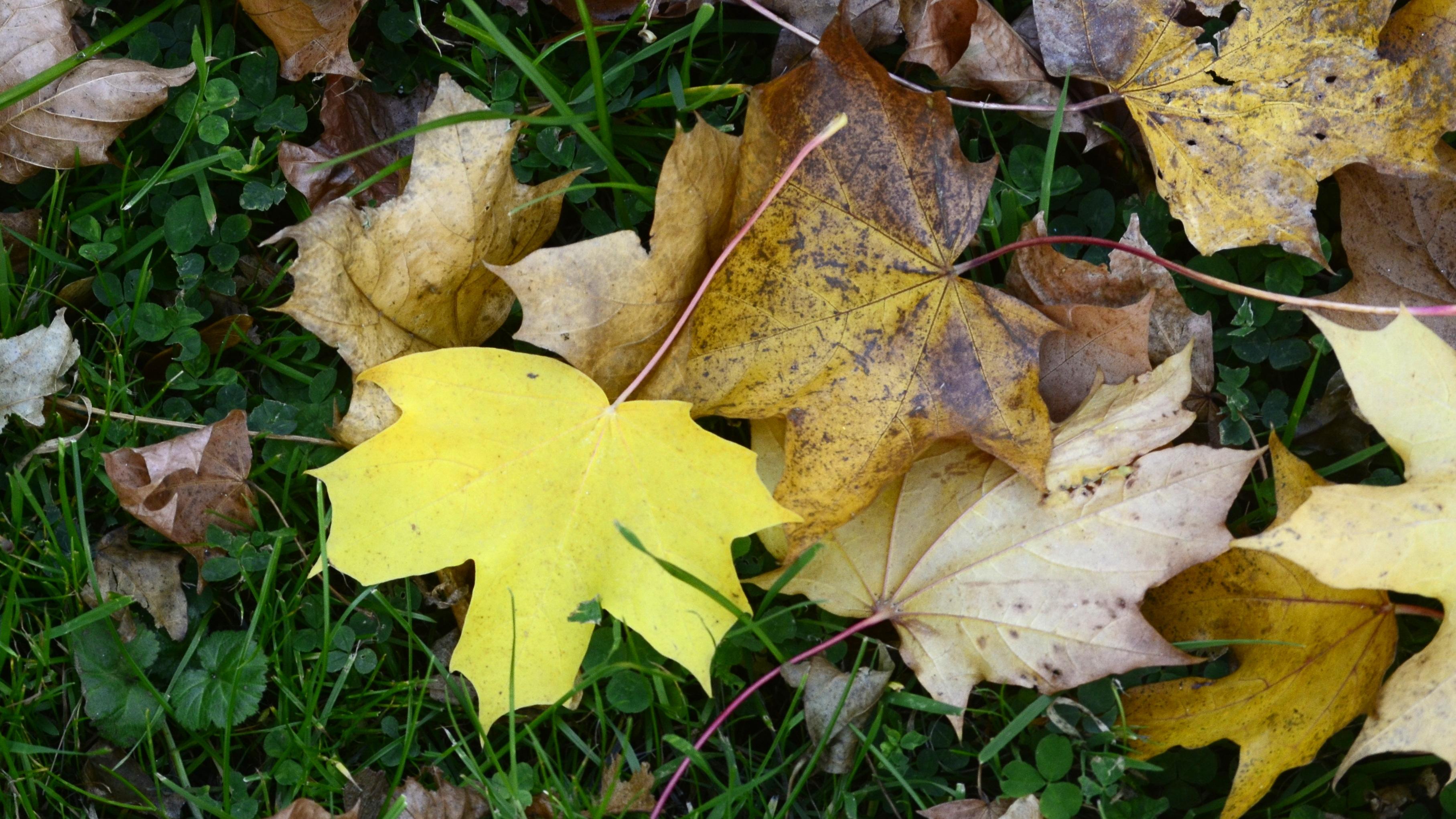 Sonbaharda, kloroplastlardaki klorofil kaybından sonra hali hazırda var olan karotenoidler ortaya çıkmış olur. Bu yaprağın sarı olmasını sağlayan karotenoid pigmentleri esas olarak mavi dalga boylarını absorbe eder ve daha uzun dalga boylarının saçılmasına ve sarı rengin üretilmesine izin verir.
