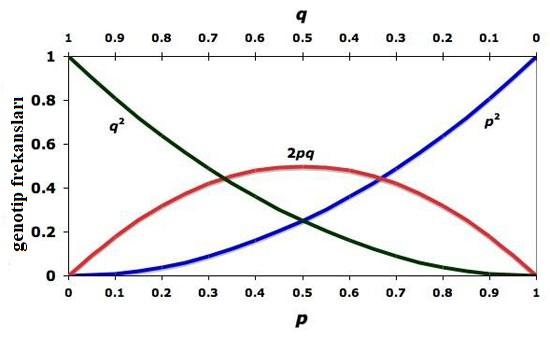 Görsel 4. Alel frekanslarının (p ve q) bir fonksiyonu olarak Hardy-Weinberg denge genotip frekanslarının (p2, 2pq, q2) grafiği