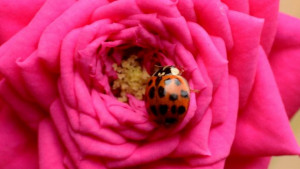 Ay lekeli kelebek (Phalera bucephala)