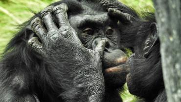 Göz Ardı Edilen Bonobolar