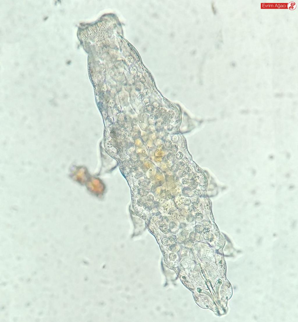Işık mikroskobunda görüntülenen bir su ayısı türü.