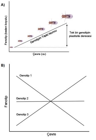 Şekil 3: Yaşam Öyküsü Karakterlerinde Plastisite. ÜST (A): Fenotipik plastisite sıklıkla tepkime normalleri ile görselleştirilir. Bunlar, belirli bir genotip için çevre ile fenotipi ilişkilendiren eğrilerdir. Örnekte, meyve sinekleri (Drosophila sp.) için, bir genotipten şekillenen ortam sıcaklığı değişikliğine göre yetişkinlik vücut boyutuna olan gelişimin tepkime normali gösterilmiştir.  ALT (B): Fenotipik plastisite için genotiplerdeki genetik değişkenlik kendisini farklı eğimleri olan tepkime normali olarak göstermektedir. Yani, genellikle tepkime normalleri birbirlerine paralel değildir. Bu şekildeki bir desene Çevreye göre Genotip adı verilir. Şekilde özellikle kuvvetli bir Çevreye göre Genotip örneği verilmiştir. Her üç genotipin tepkime normalleri değişik çevresel şartlara göre göreceli olarak fenotipleri değiştirecek şekilde birbirleri ile kesişmektedir.