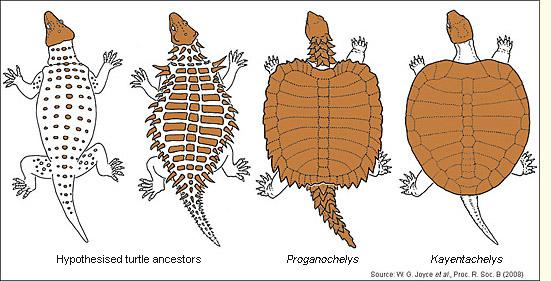 Kabuğun (karapaks) evrimini gösteren bir çalışma.
