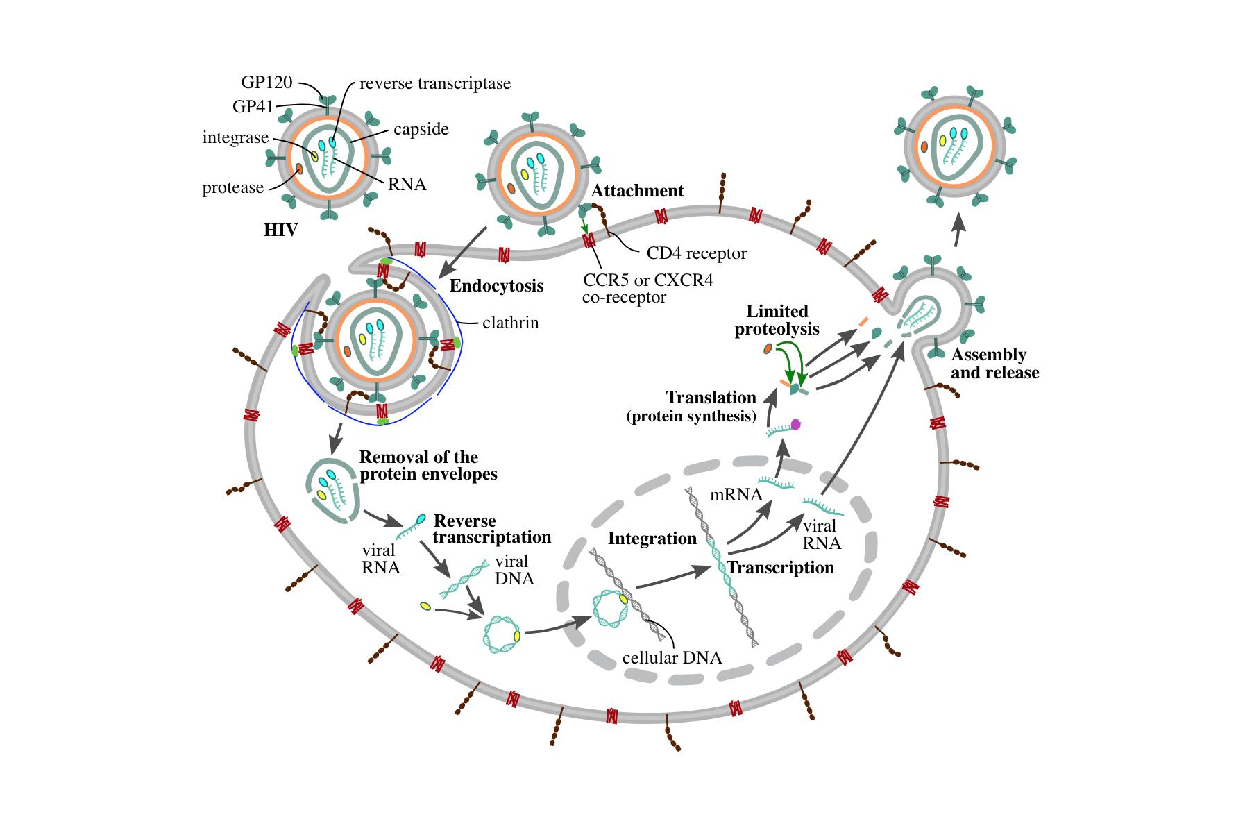 HIV'in hücreye giriş mekanizması.