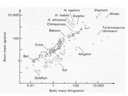 Bir diğer örnek... Bu defa ortalama özellikle bir çizgiyle gösterilmemiştir. Ancak genel olarak yarasa, karga, babun, Australopithesinler (modern insanların ilk insansı ataları), Homo türleri, yunuslar, filler ve balinalar bariz olarak ortalamanın üzerinde; Japon balığı, yılan balıkları, timsahlar, T-rexler bu ortalamanın altındadırlar.