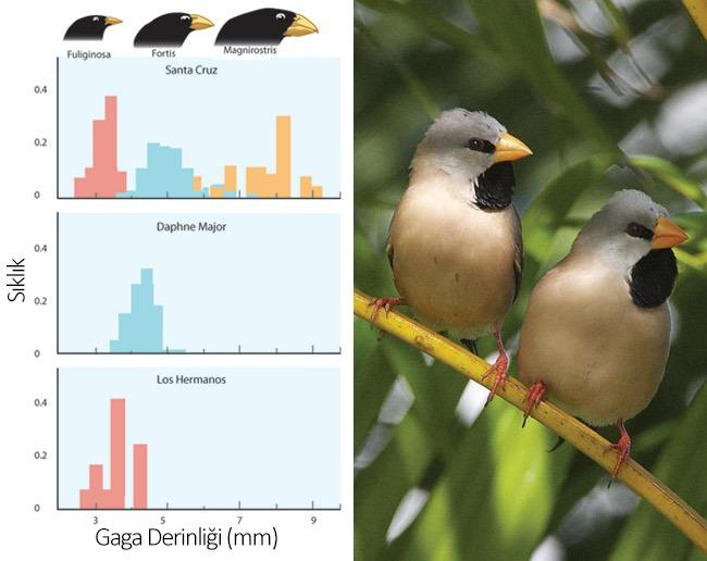 Görsel 3. Karakter değişiminin klasik bir örneği. Eğer Darwin'in ispinozlarından birden fazlası bir adada aynı anda yaşamaya başlarsa, tek başına oldukları durumla karşılaştırıldığında gaga derinlikleri farklılık gösterir (ve farklı büyüklükte tohum yerler). Görsel Morin (1999) çalışmasından uyarlanmıştır.