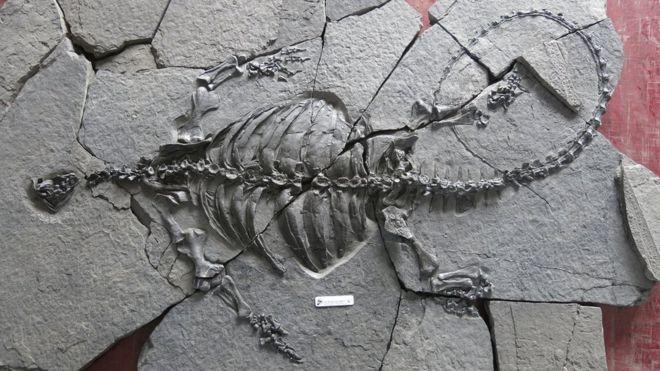 Eorhynchochelys sinensis türünün neredeyse bütün iskeleti.
