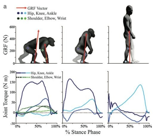 İki ayak üzerinde yürümenin bir diğer önemli avantajı ise biyomekanik açıdan uzun vadede daha az enerji sarfiyatına neden olmasıdır. Kısa mesafede hızla kaçmak gerektiğinde dört ayaklılık (quadrupedalism) daha avantajlıdır. Ancak uzun mesafede göç eden ve sürekli yer değiştiren (göçebe) türlerde iki ayaklılık, biyomekanik avantaj sağlamaktadır. Bunun sebebi kemiklere ve eklemlere binen yük dağılımlarındaki değişimdir.