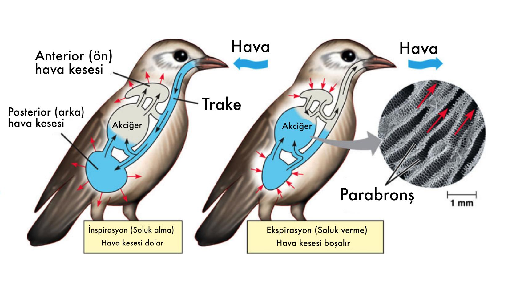 Kabaca kuşlardaki solunum fizyolojisi.