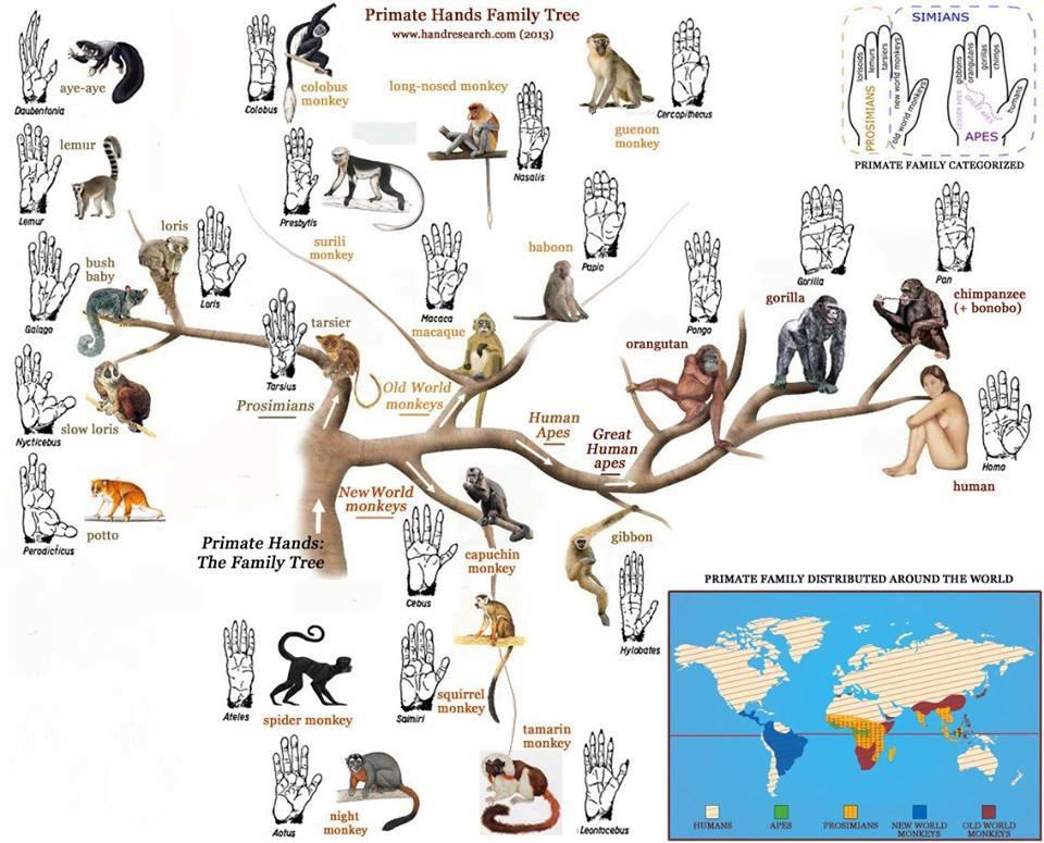 Primatların evrimi ve avuç içlerinin morfolojik görüntüsü.